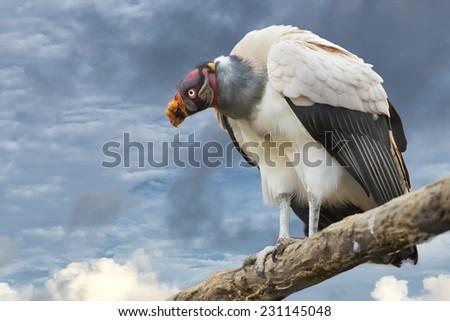 sarcoramphus papa vulture buzzard portrait - stock photo