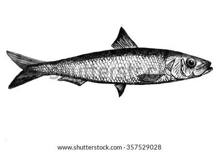 Sardine ink illustration
