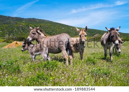 Sardinian donkeys in Asinara island in Sardinia, Italy - stock photo
