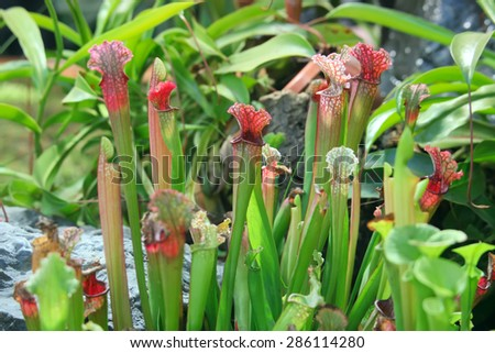 Sarracenia.  Exotic flower. Carnivorous pitcher plants - stock photo