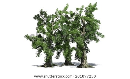 sassafras tree cluster - separated on white background