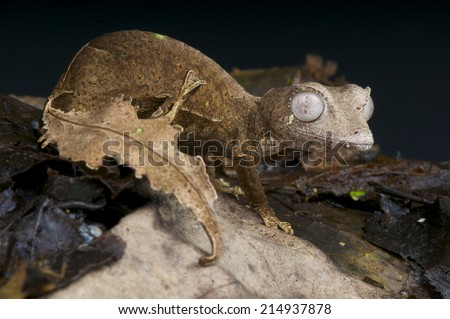 Satanic leaf tailed gecko / Uroplatus phantasticus - stock photo