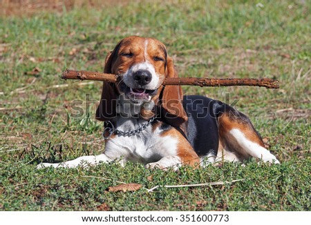 Satisfied puppy of breed of beagle lay on a green lawn