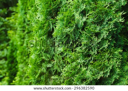 saturated green leaves of thuja. Bright lush foliage background. focus on right side of photo - stock photo