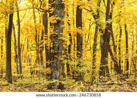 Saturated yellow foliage in autumn oak and maple forest in Belogorie
