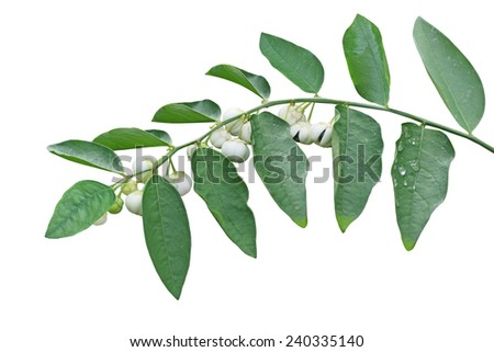 Sauropus androgynus, also known as katuk, star gooseberry, Pucuk Manis  or sweet leaf with fruit isolated on white background - stock photo