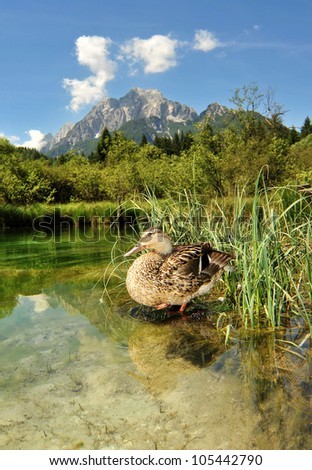 sava spring with duck, zelenci - stock photo