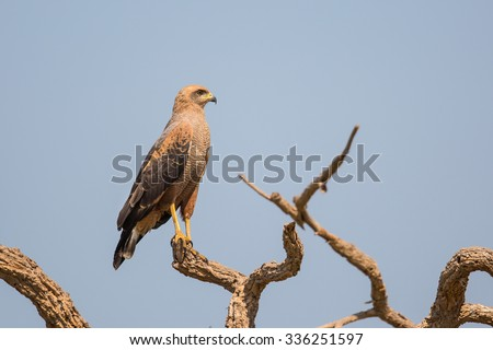 Savanna Hawk (Buteogallus meridionalis) perched in dead tree, Pantanal, Brazil