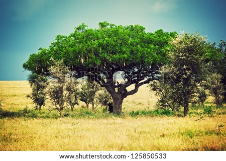 Savanna landscape in Africa, Serengeti, Tanzania. Kigelia called Sausage Tree