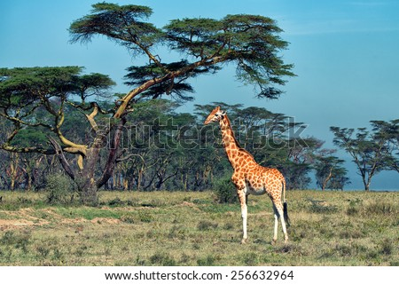 Savanna landscape with ugandan giraffe ( Giraffa camelopardalis rothschildi ) - stock photo