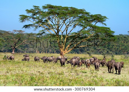 Savanna with acacia trees and herd of buffalos - stock photo
