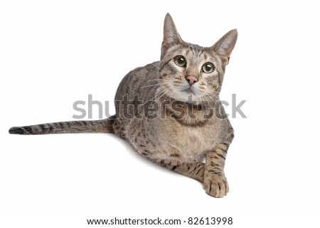 Savannah cat in front of a white background - stock photo