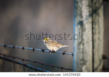 Savannah Sparrow perched on a barbed-wire fence, Alberta Canada - stock photo