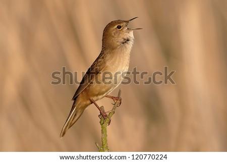 Savi's warbler - Locustella luscinioides - stock photo
