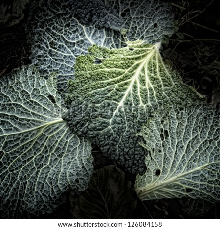 Savoy leaves on a Compost Heap/Artistically alienated to create a grungy somber atmosphere. - stock photo