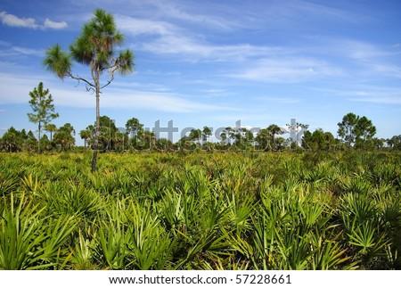 Saw Palmetto & Pine Trees in the Everglades - stock photo
