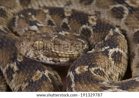 Saw-scaled viper / Echis pyramidum