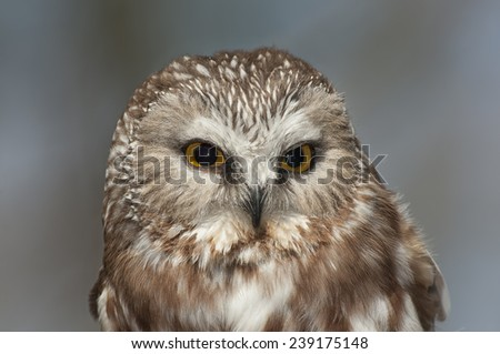 Saw-whet owl on a blurred background - stock photo