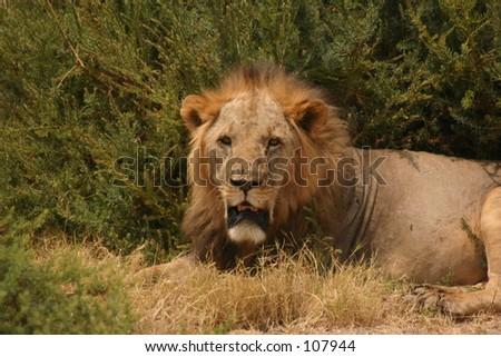 sawgrass lion 3,04 - stock photo