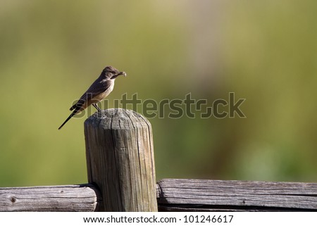 Say's Phoebe with an insect in its beak