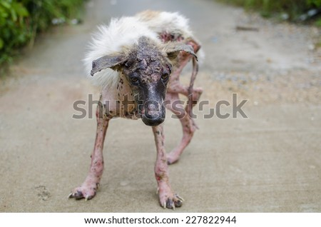 Scabies dog white fur feeling pain outdoor - stock photo