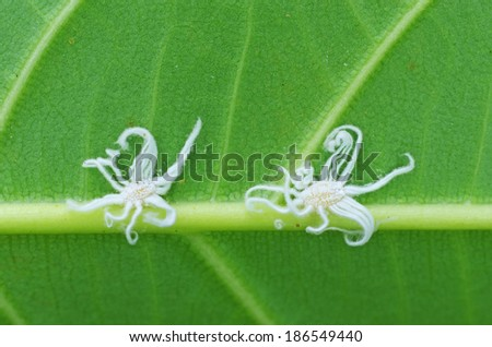 scale insects are staying under the tree leaf - stock photo
