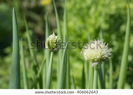 scallion farm in the outdoor vegetable garden