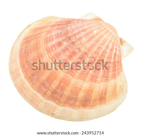 Scallop on a white background. shell isolated - stock photo