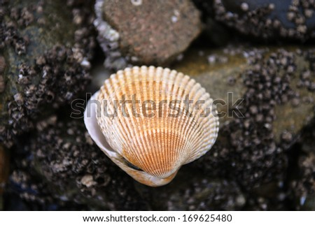 Scallop Shell - stock photo