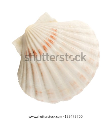 Scallop shell white isolated studio shot