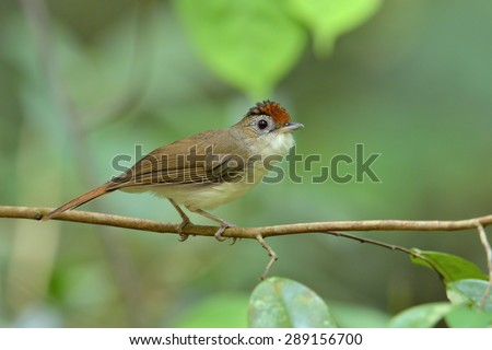scaly-crowned babbler - stock photo