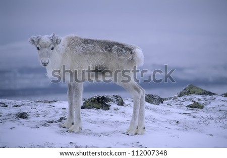 Scandinavia, Sweden, Dalarna, animal in snow