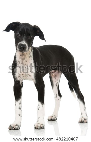 Scandinavian hound Puppy isolated on white