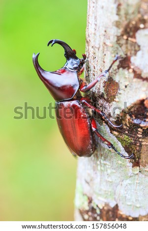 Scarab beetle and Rhinoceros Beetle in Doi Inthanon National park  Chiang Mai Province Asia Thailand - stock photo