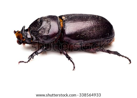 Scarab beetle , Horn beetle (Dynastinae) on white background.