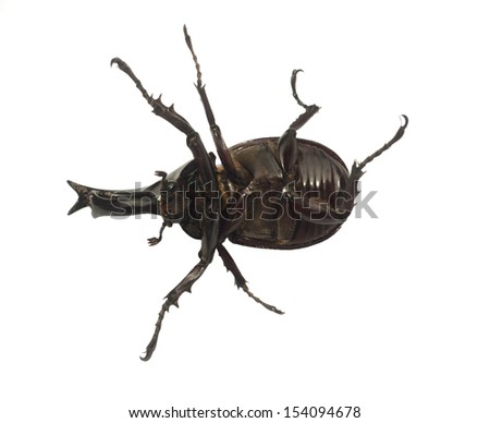 Scarab beetle isolated on white background.