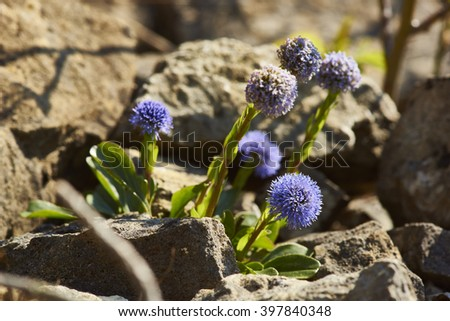scarce forester, Globularia