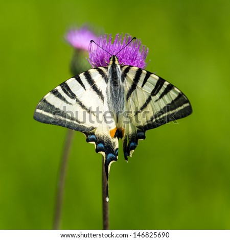 Scarce Swallowtail Butterfly - Iphiclides podalirius - stock photo