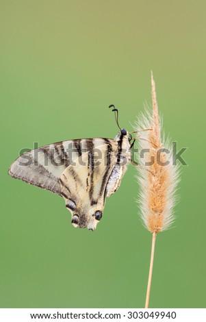 Scarce Swallowtail - Iphiclides podalirius - stock photo