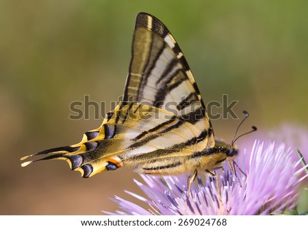 Scarce swallowtail or Pear-tree swallowtail  - stock photo