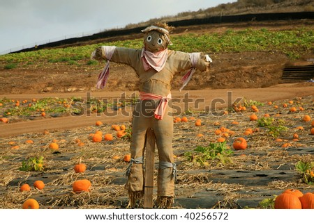 scarecrow in a pumpkin patch - stock photo