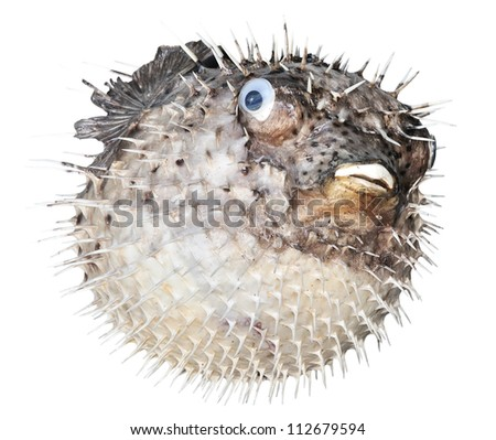 Scarecrow of a sea hedgehog on a white background - stock photo