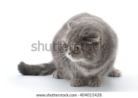 Scared cat breed Scottish fold. Studio photography on a white background.
