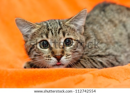 Scared Cat with dilated pupils on orange background - stock photo