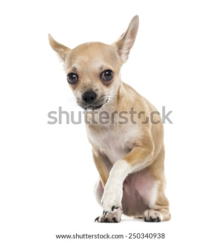 Scared chihuahua - stock photo