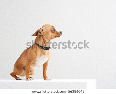Scared chihuahua on the white background in the studio - stock photo