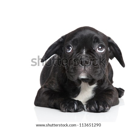 Scared French bulldog puppy on a white background - stock photo