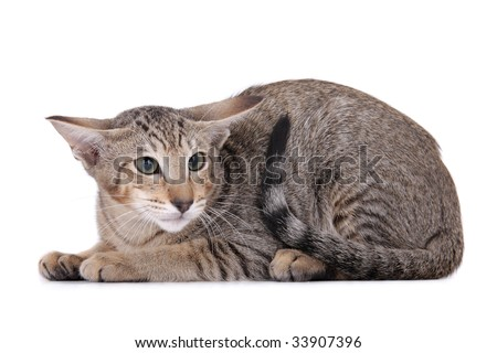 Scared Oriental Cat on white background