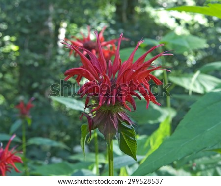 Scarlet Beebalm (Monarda Didyma) blossom located in the Great Smoky Mountains National Park, Tennessee.