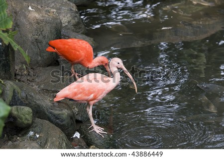 Scarlet Ibis by some water.  This bird is native to tropical South America and is the national bird of Trinidad and Tobago.